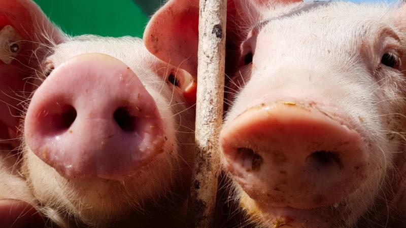 Hoffest Sallach - Schweine-Portraet (c)T5-X